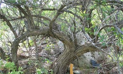 沙地柏的繁殖方法,沙地柏的园林用途