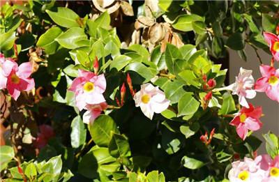 飘香藤的功效与作用,飘香藤的养殖方法和注意事项