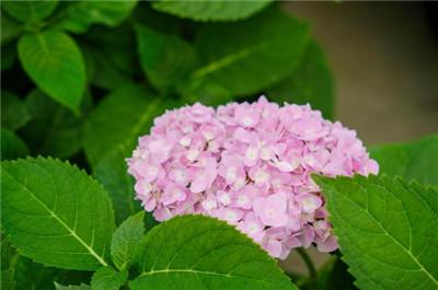八仙花图片,一起看看八仙花图片
