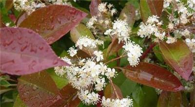 红叶石楠,红叶石楠的功效与作用