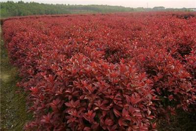 红叶石楠扦插,红叶石楠扦插方法