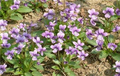 紫花地丁的功效与作用
