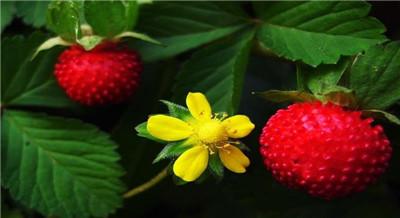 蛇莓的功效与作用