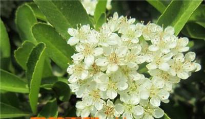 石楠花,石楠花的功效与作用