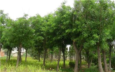 榉树和朴树的区别,榉树和朴树的区别有哪些