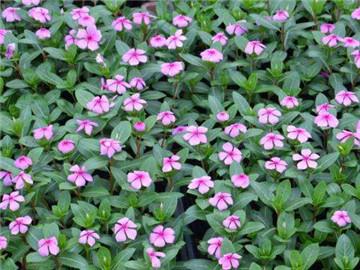 长春花卉基地