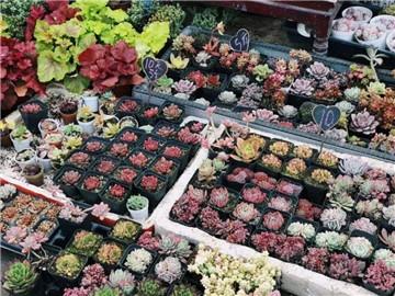 三圣乡花卉市场