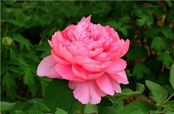 洛阳牡丹花卉
