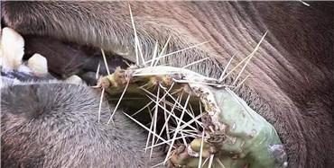 什么动物吃仙人掌不扎嘴