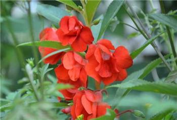 凤仙花传播种子的方法