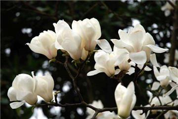 白兰花和白玉兰