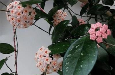 球兰花图片