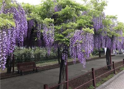 紫藤花的花语