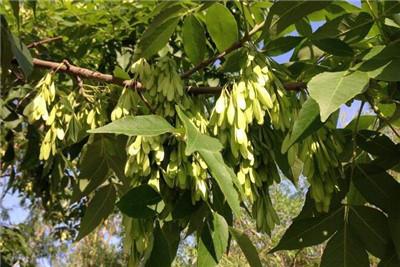 白蜡树种植方法