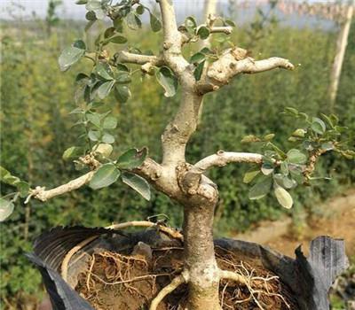 白蜡树价格