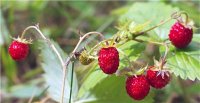 野草莓能吃吗