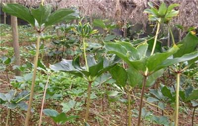 七叶一枝花种植技术