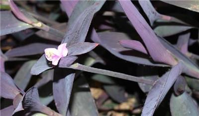 紫叶鸭跖草