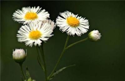 小雏菊的花语