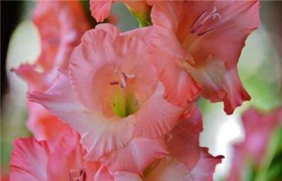 剑兰花图片