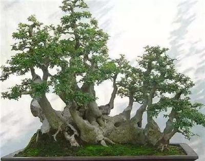 对节白蜡树盆景