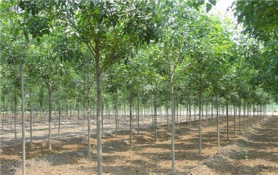 小叶白蜡树