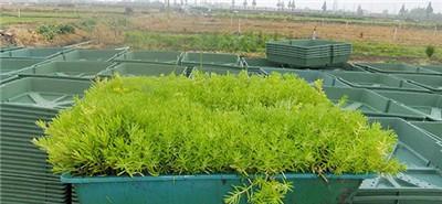 佛甲草种植
