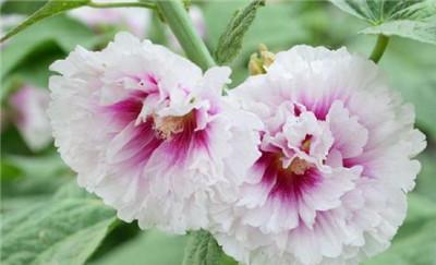 蜀葵的种植方法