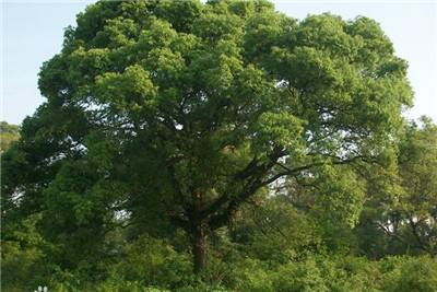 樟树的资料