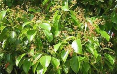 香樟树图片