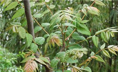 香椿芽的营养价值