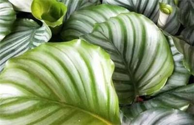 天鹅绒竹芋