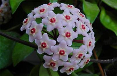 球兰花的养殖