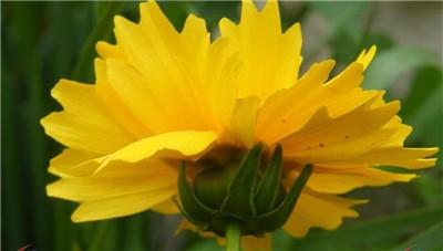 剑叶金鸡菊