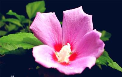 木槿花花语