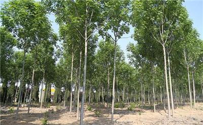 白蜡树种子