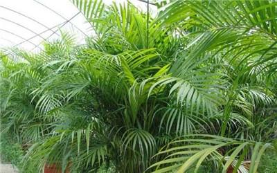 凤尾竹和散尾葵区别
