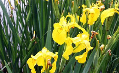 黄菖蒲花的花语
