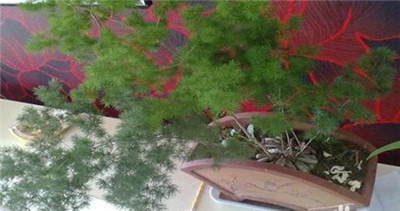 蓬莱松盆景