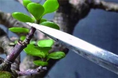 燕子掌的修剪方法