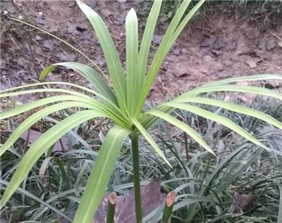 棕竹的养殖方法和注意事项