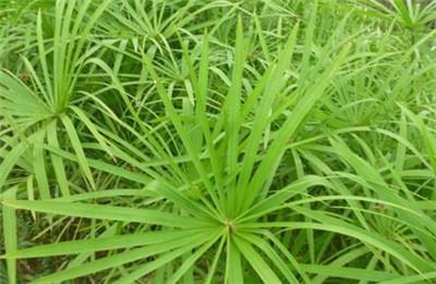 水竹叶子发黄怎么办