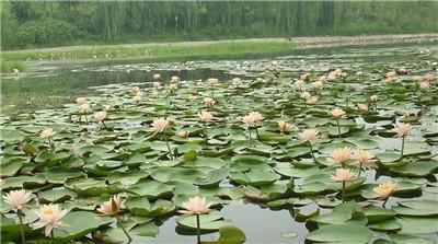 水生花卉名称以及图片大全