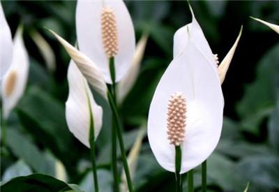 家养花卉图片及名称