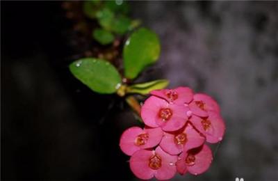 刺梅花图片