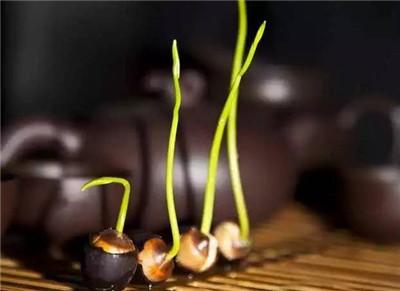 碗莲种植方法图解