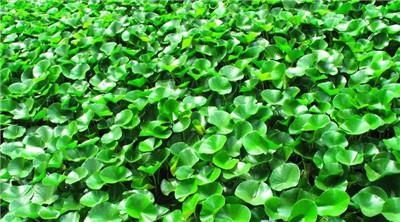 水葫芦是什么植物