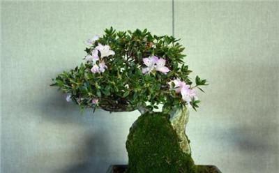 花卉盆景名称及图片大全