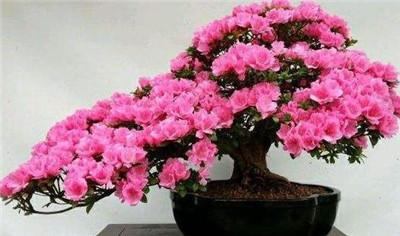 杜鹃花盆景图片
