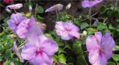 凤仙花的栽培方法